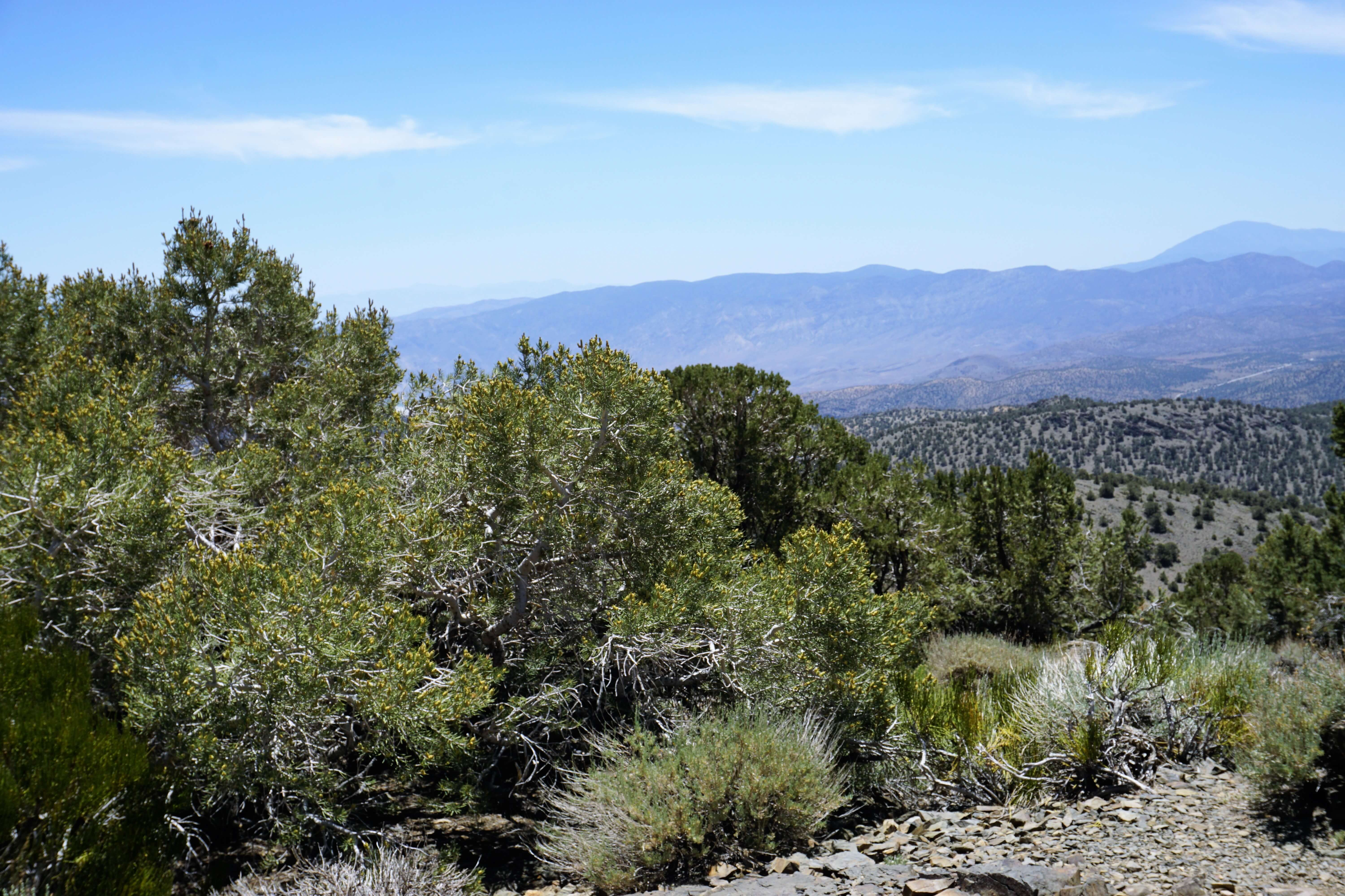 A view of the Eastern Sierras from the Bristlecone Pine Forest