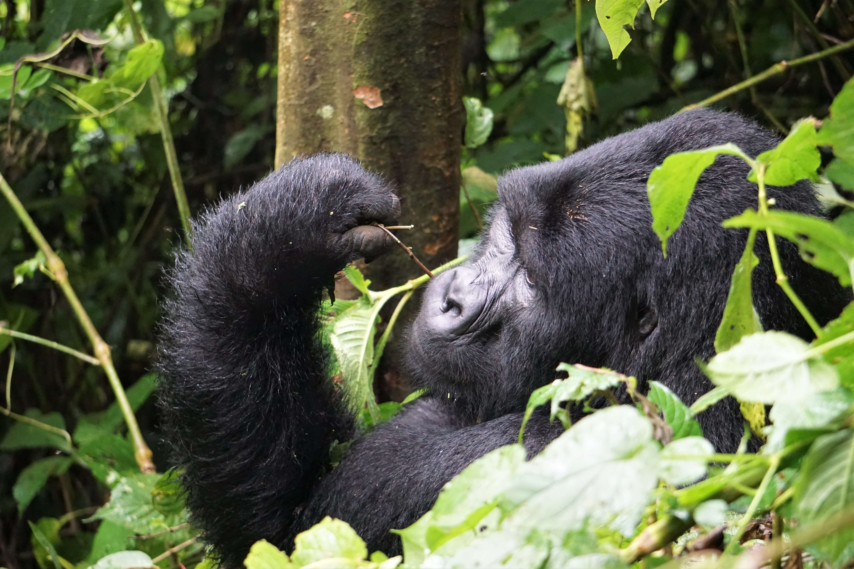 Silverback gorilla relaxing