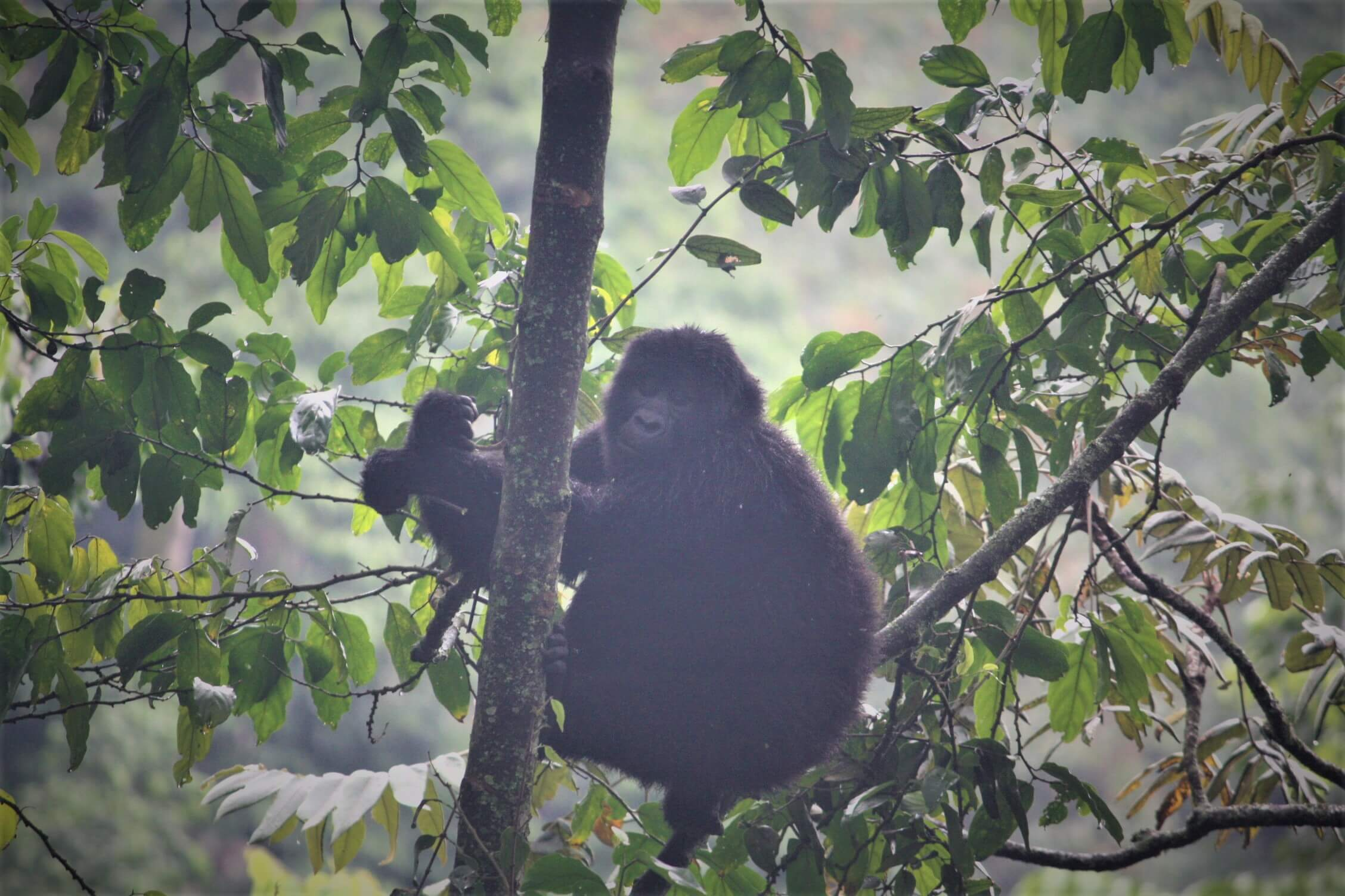 Juvenile mountain gorilla