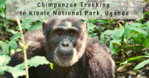 Chimpanzee Trek in Kibale National Park