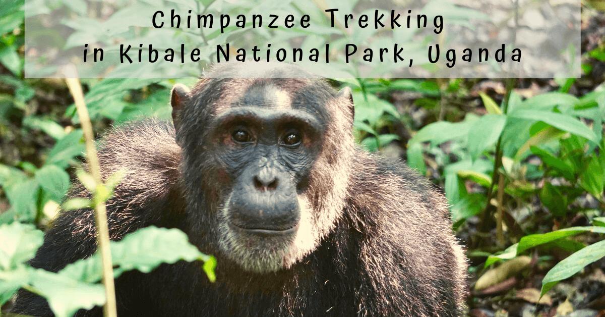 Chimpanzee Trek in Kibale National Park