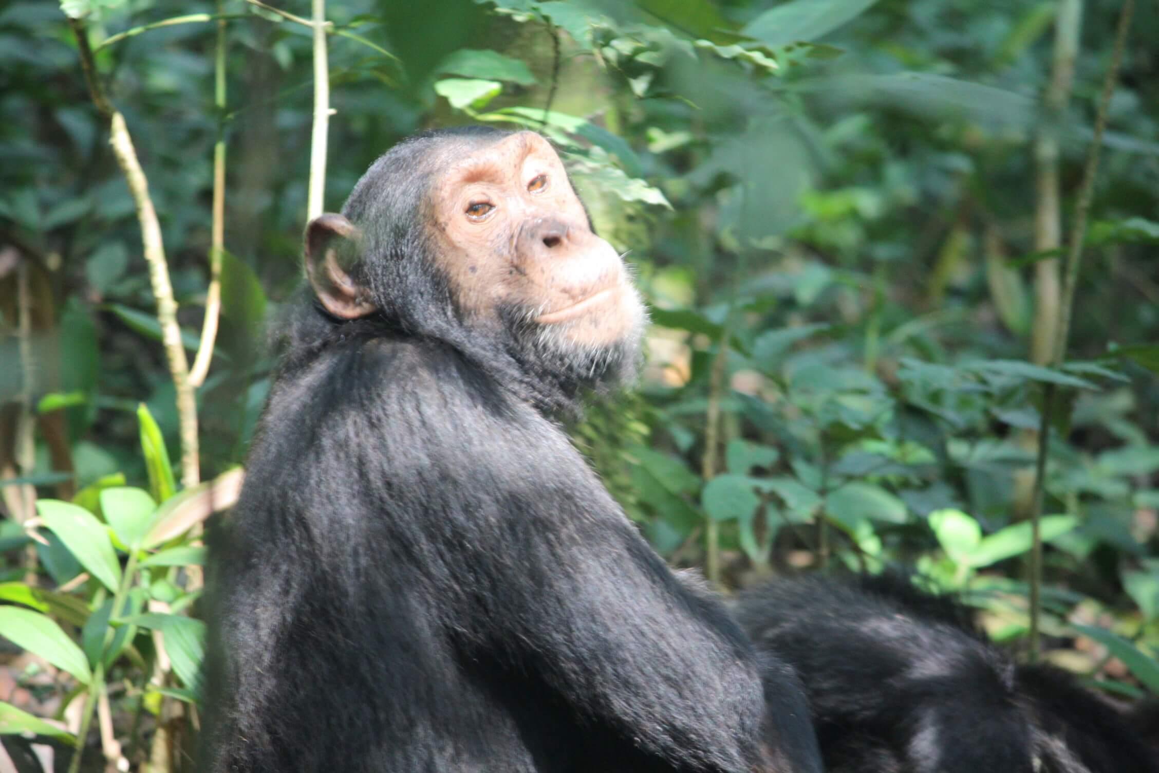 Chimp in Kibale National Park