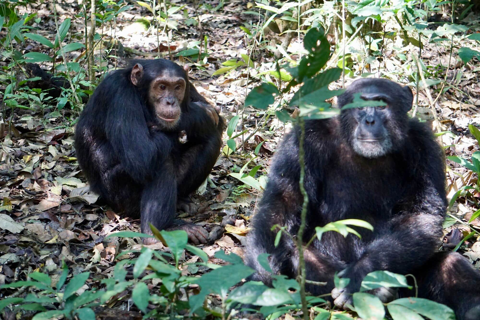 Two adult chimps in Kibale National Park