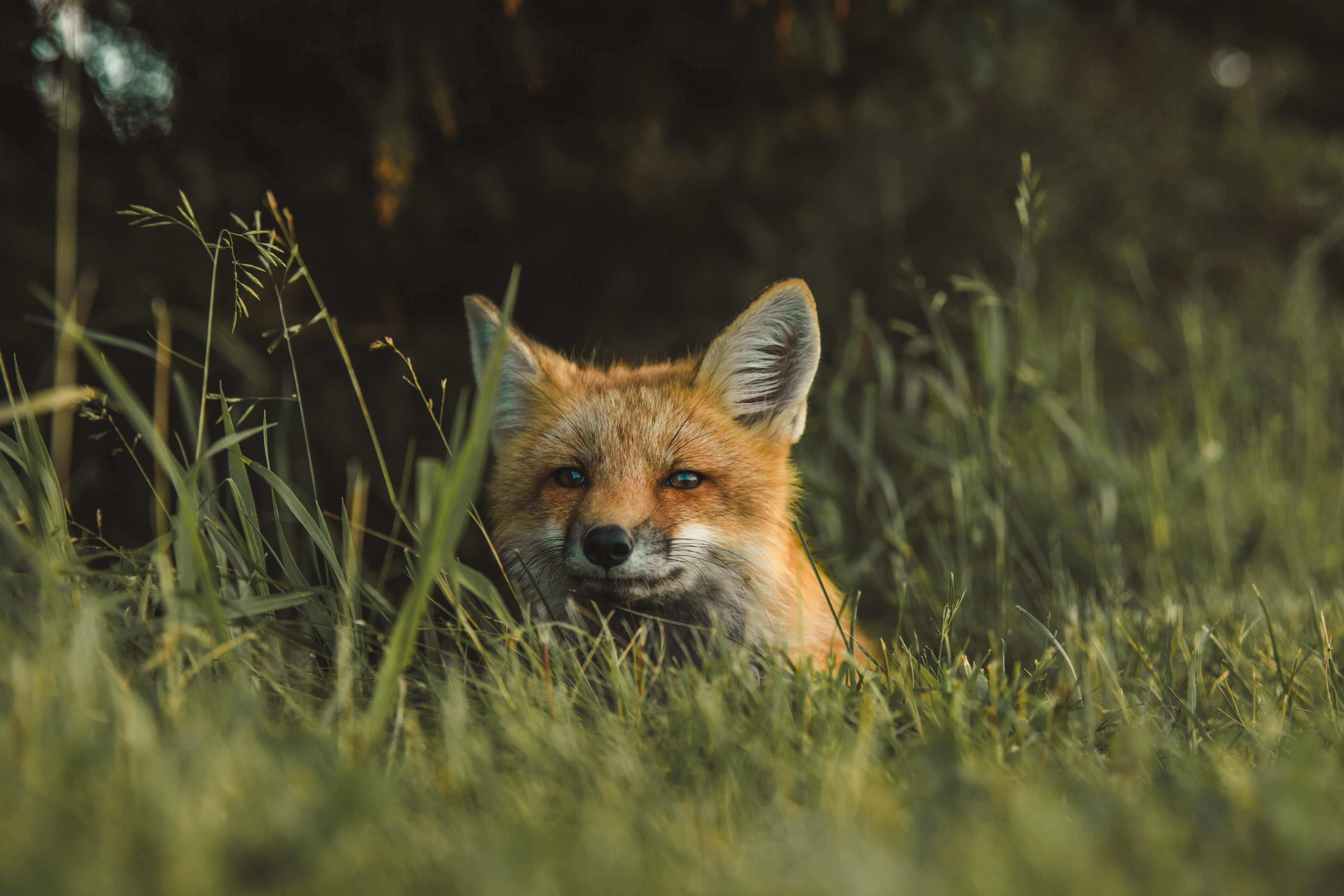 An island fox in the Channel Islands National Park