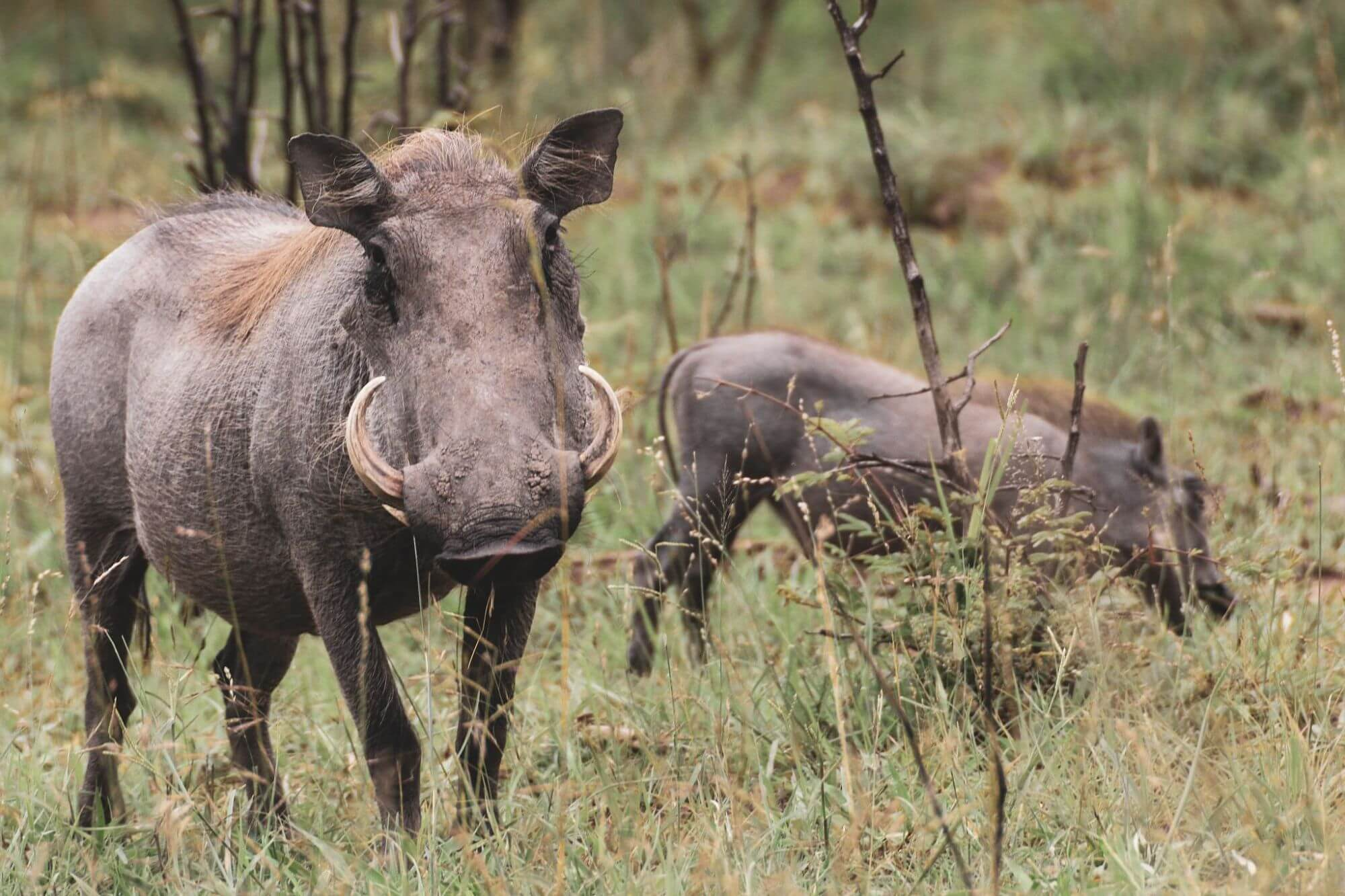 Warthogs in Queen Elizabeth National Park Uganda