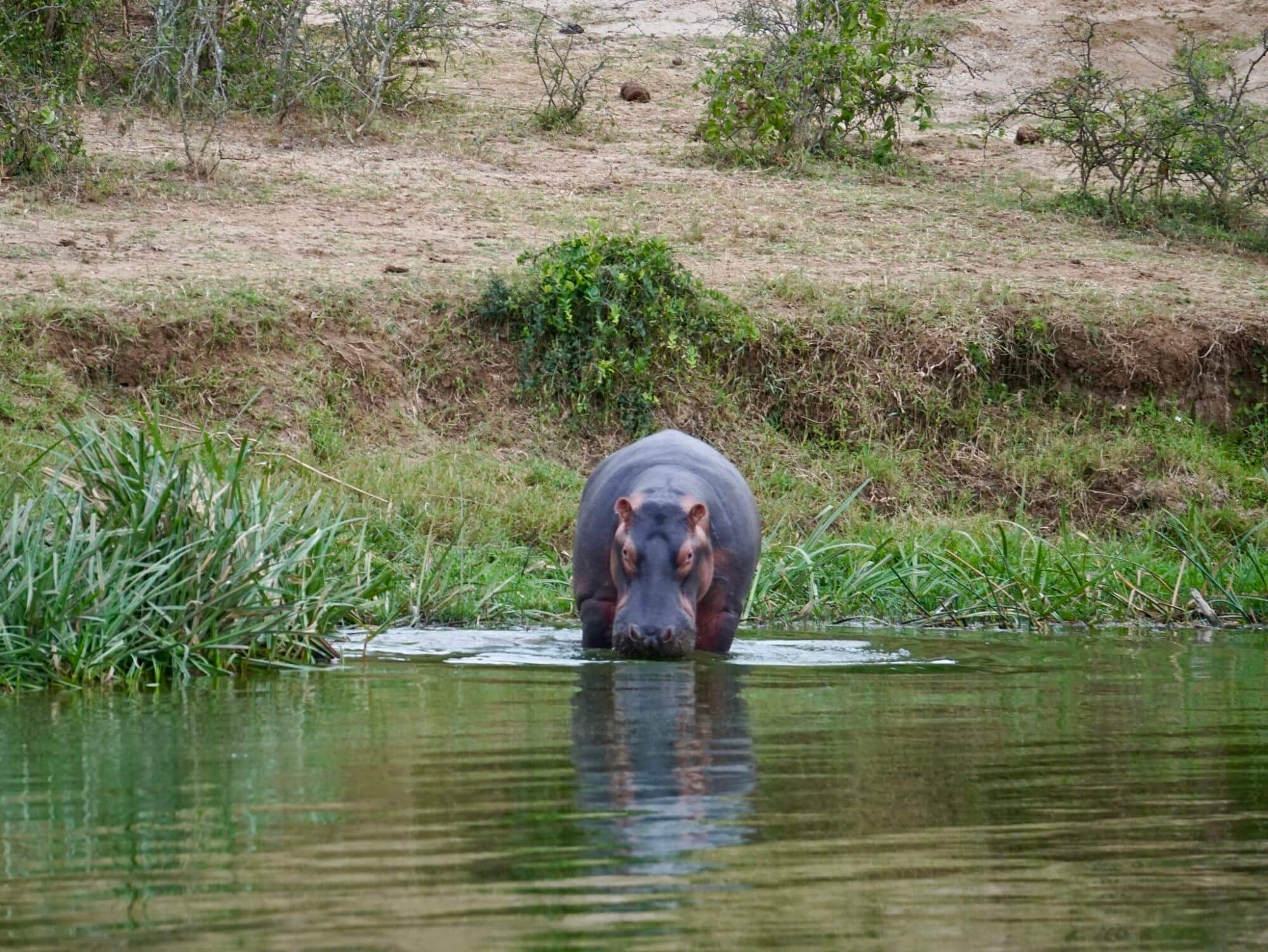 Hippo along the Kazinga Channel