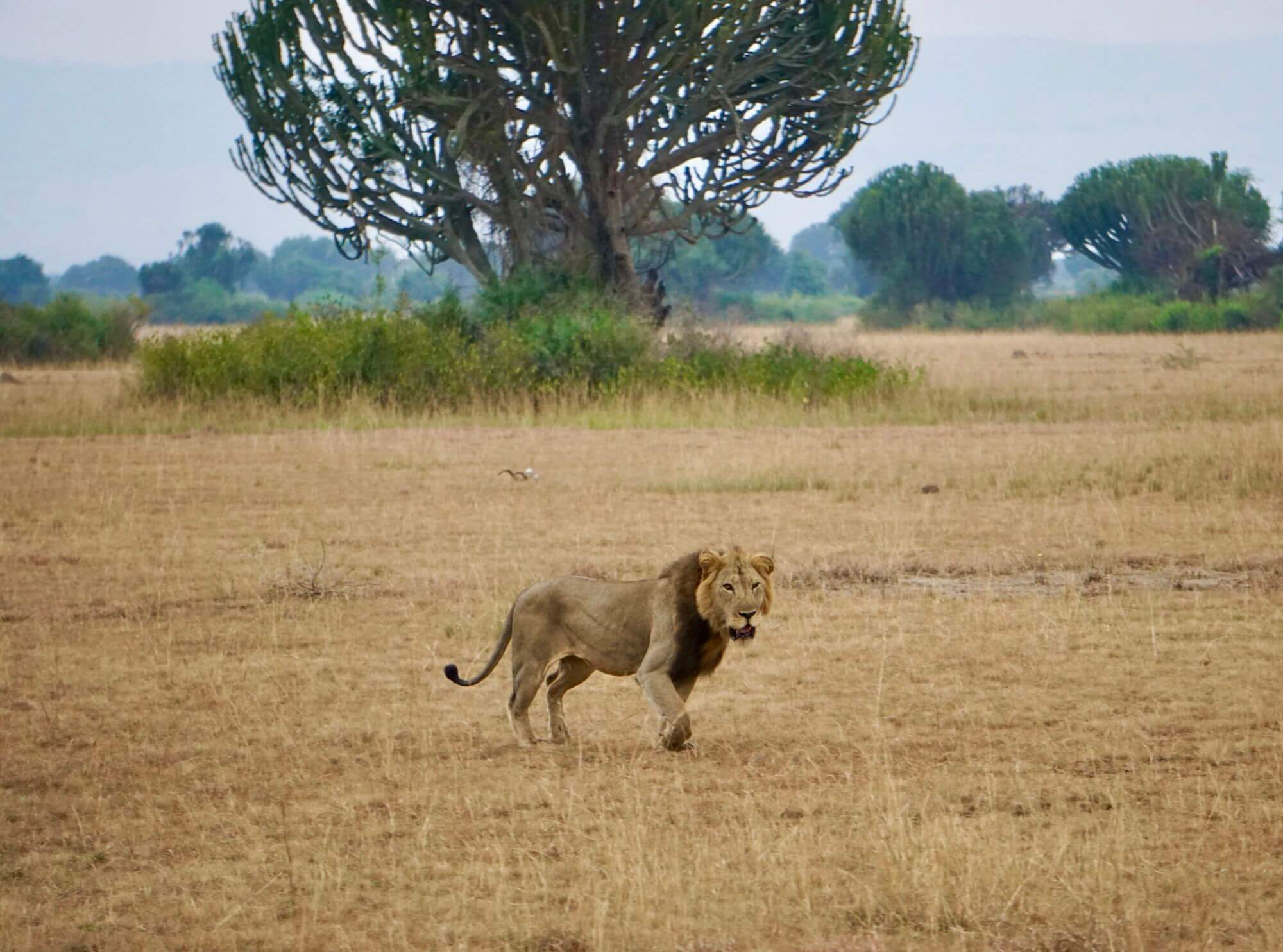 Lion in Queen Elizabeth National Park Uganda
