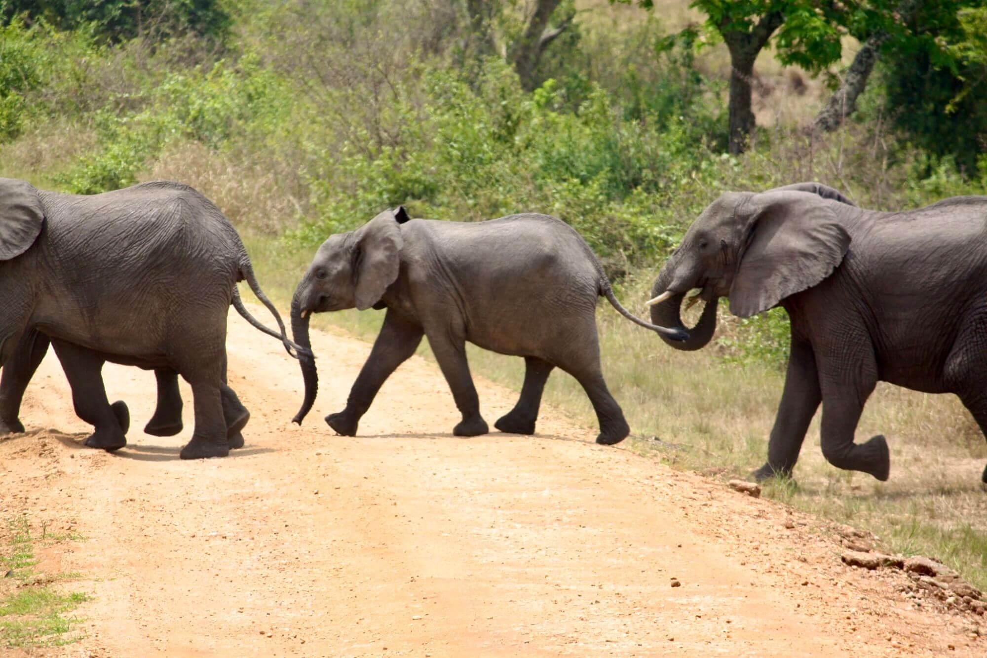 Elephants in Queen Elizabeth National Park Uganda