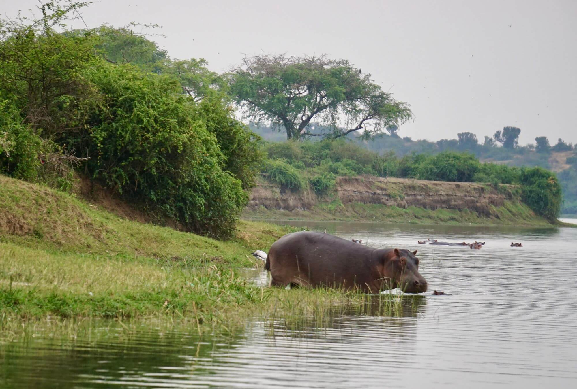 Hippos in and out of the water along the Kazinga Channel