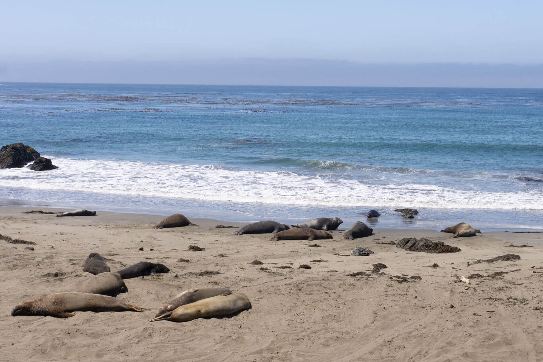 Elephant Seals at San Simeon State Park